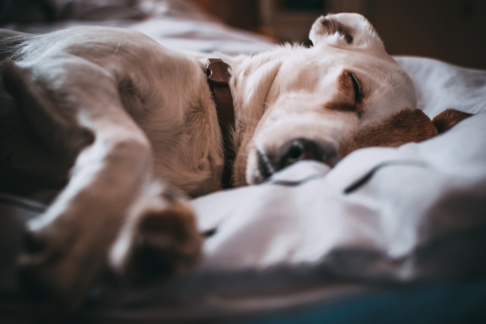Can Dogs Have Sleep Apnea? 6 Important Things to Know